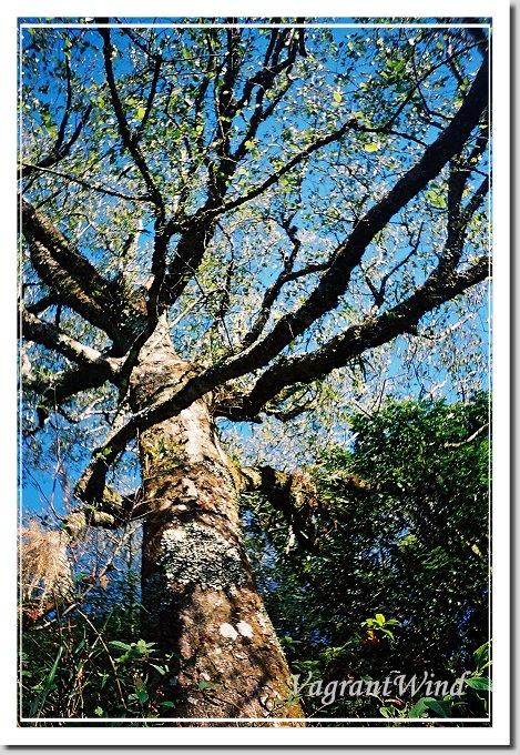 20001216--加里橫龍-樹-光影