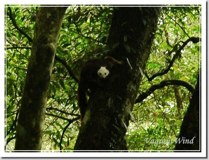 20101114-白面鼯鼠-檜山下