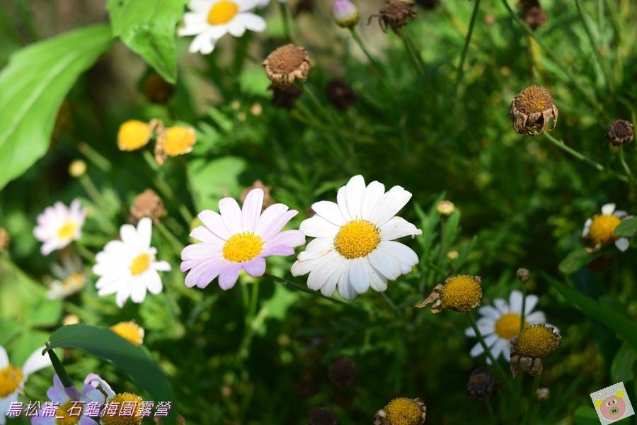 石龜梅園DSC_0544.JPG
