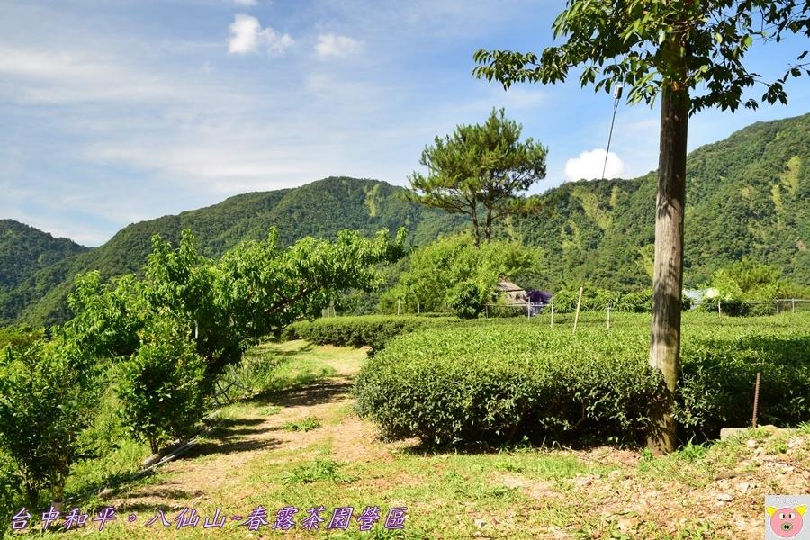 春露茶園DSC_2504.JPG