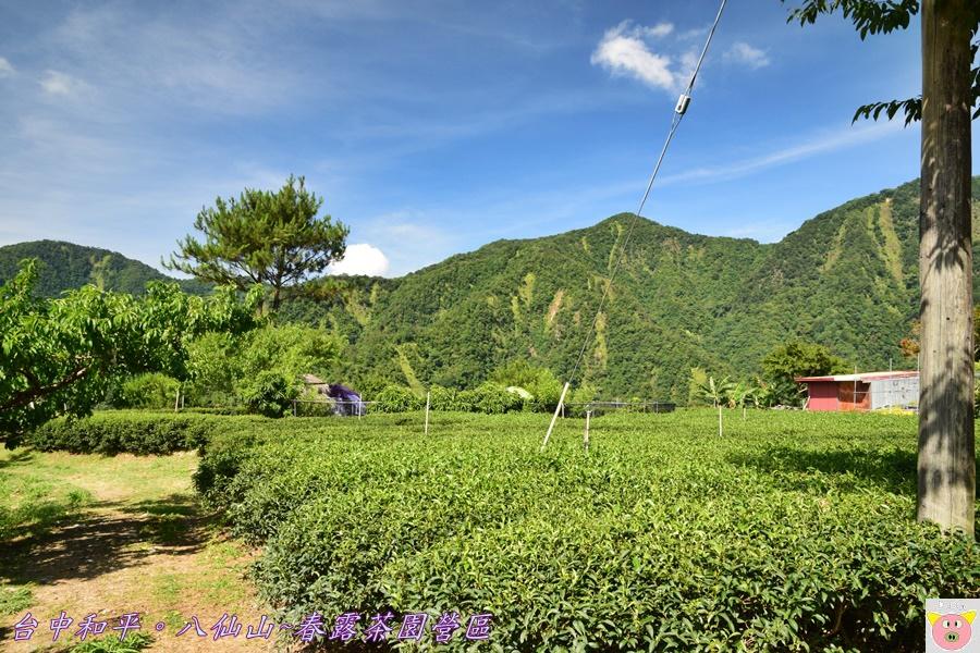 春露茶園DSC_2505.JPG