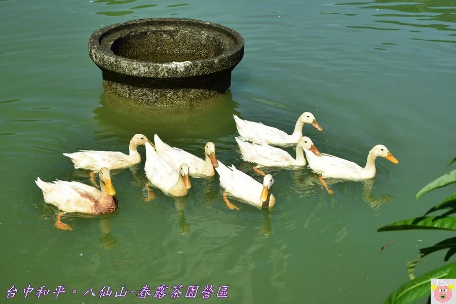 春露茶園DSC_2546.JPG