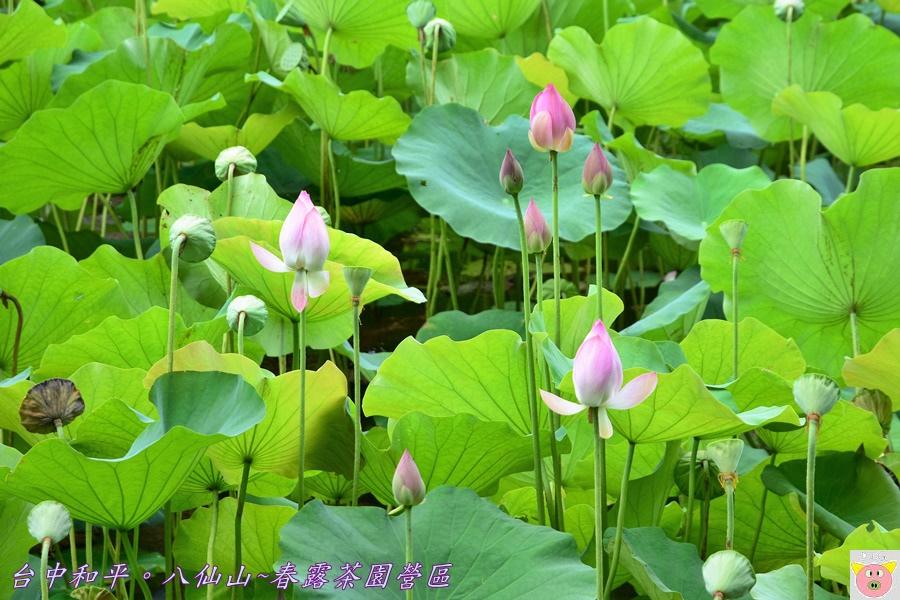 春露茶園DSC_3015.JPG