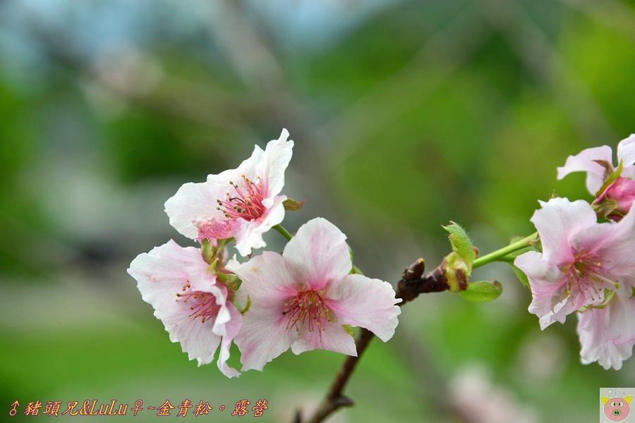 金青松DSC_9292.JPG