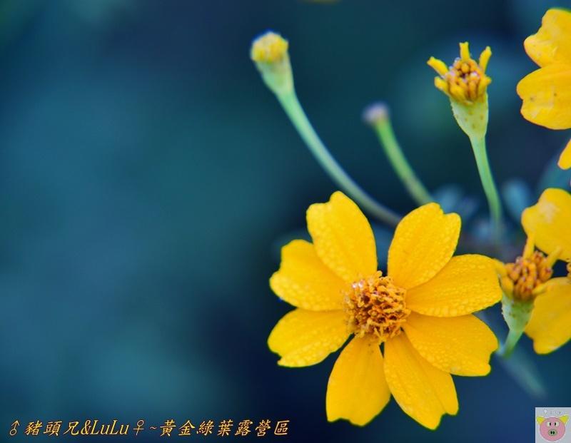 黃金綠葉DSC_0154.JPG