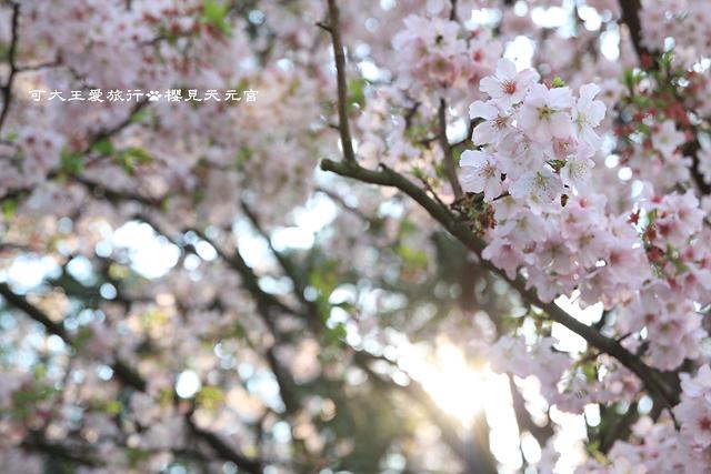 Sakura_7