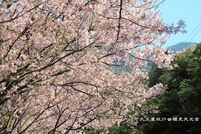 Sakura_9