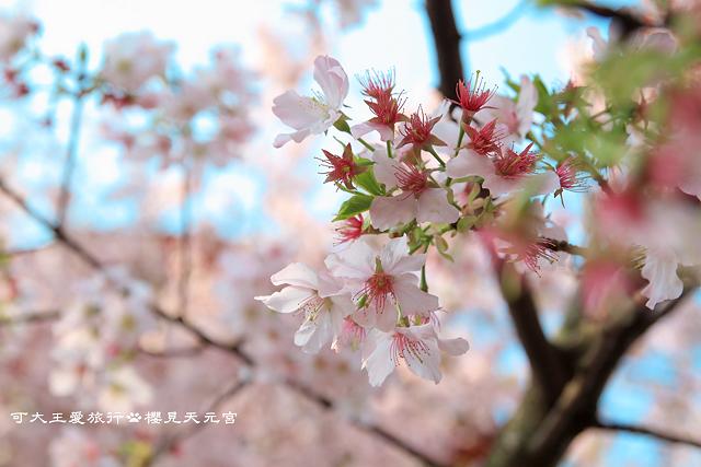 Sakura_16