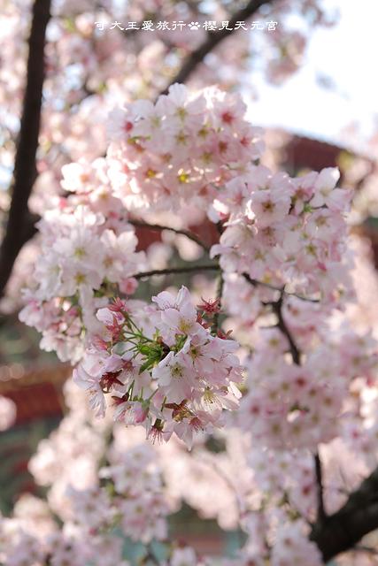 Sakura_18