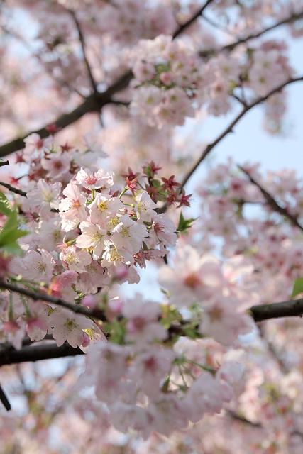 Sakura_19