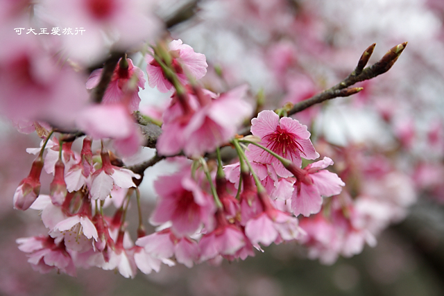 Formosa Cherry_2