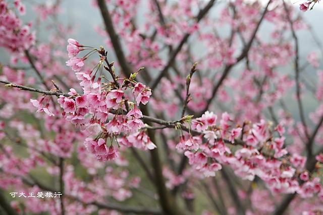 Formosa Cherry_5
