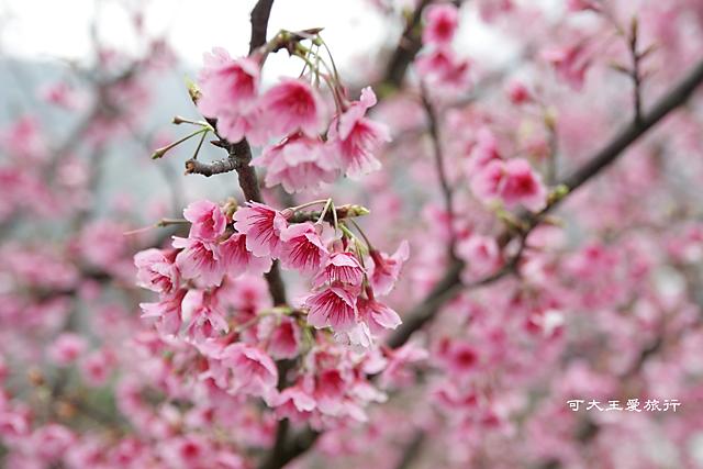 Formosa Cherry_9