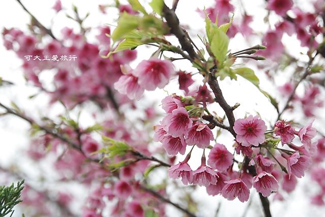 Formosa Cherry_14