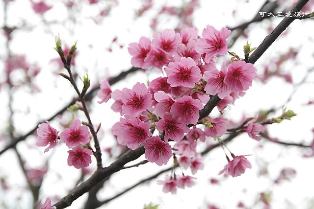 Formosa Cherry_16