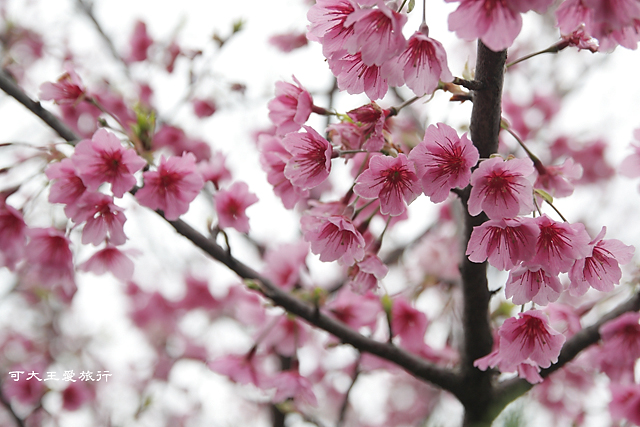 Formosa Cherry_17