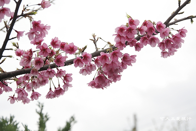 Formosa Cherry_18