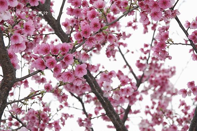 Formosa Cherry_20