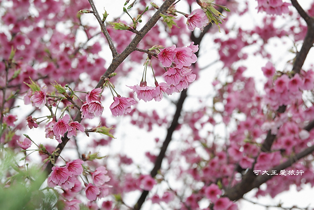 Formosa Cherry_22