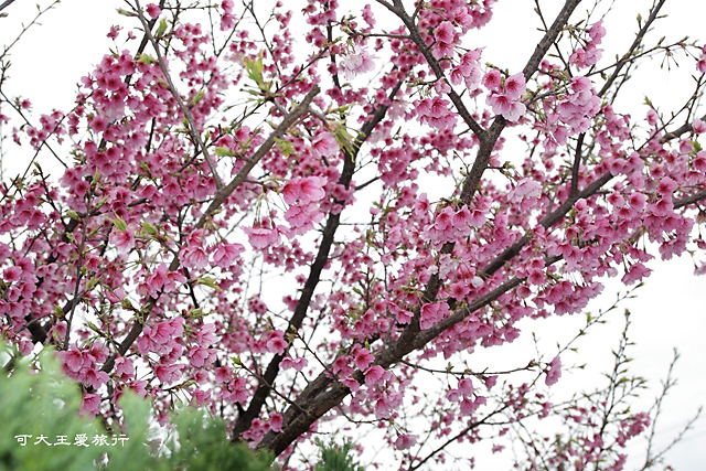 Formosa Cherry_23