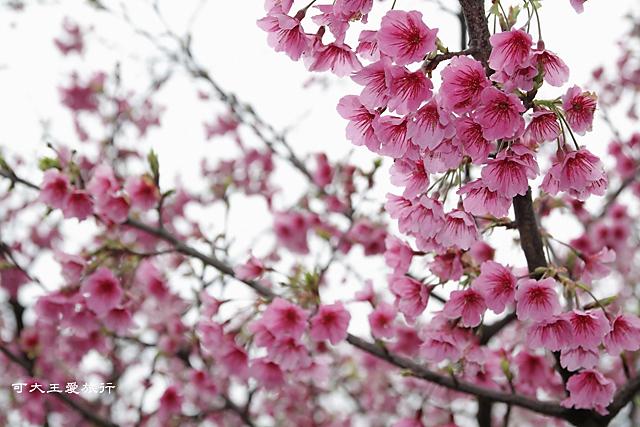 Formosa Cherry_24