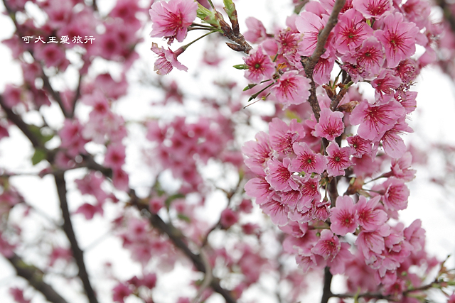 Formosa Cherry_25