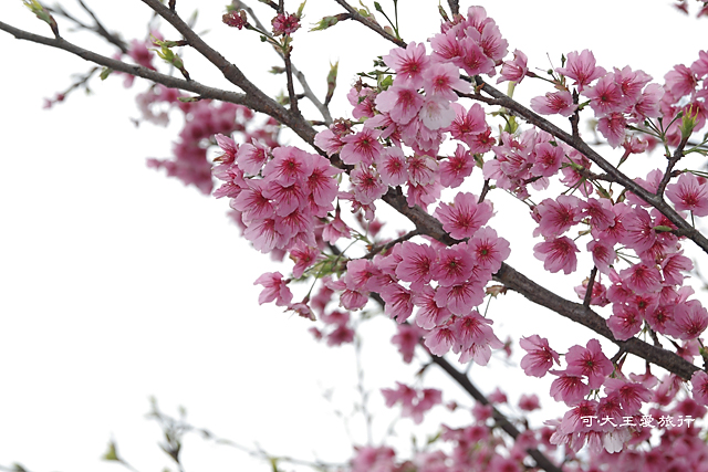 Formosa Cherry_26
