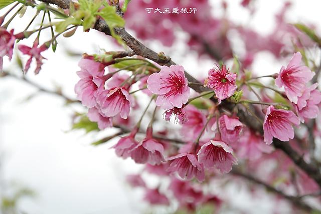 Formosa Cherry_28