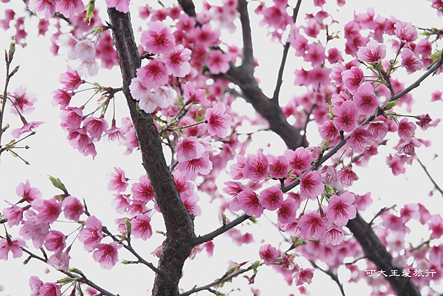 Formosa Cherry_29