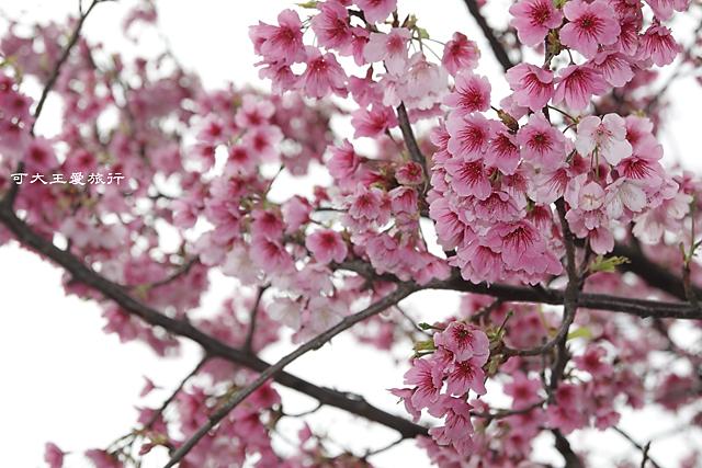 Formosa Cherry_32