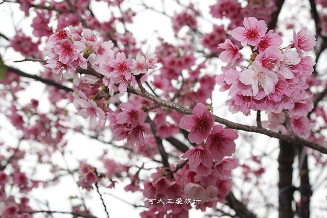 Formosa Cherry_35