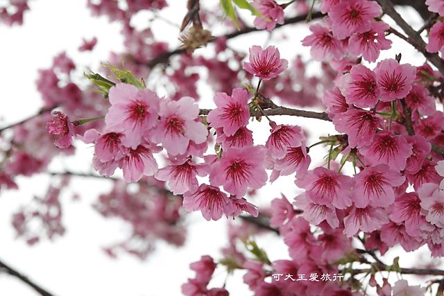 Formosa Cherry_39