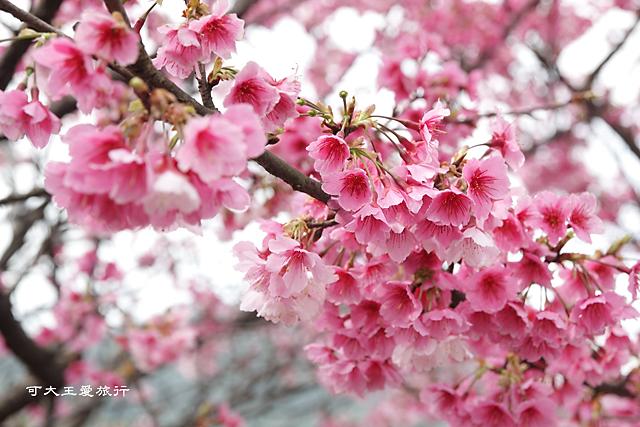 Formosa Cherry_43
