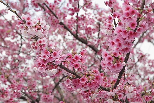 Formosa Cherry_52