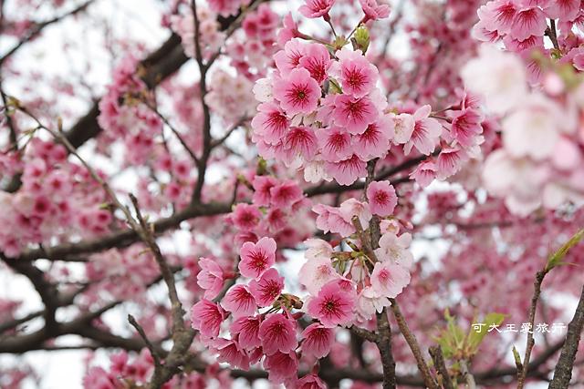 Formosa Cherry_59