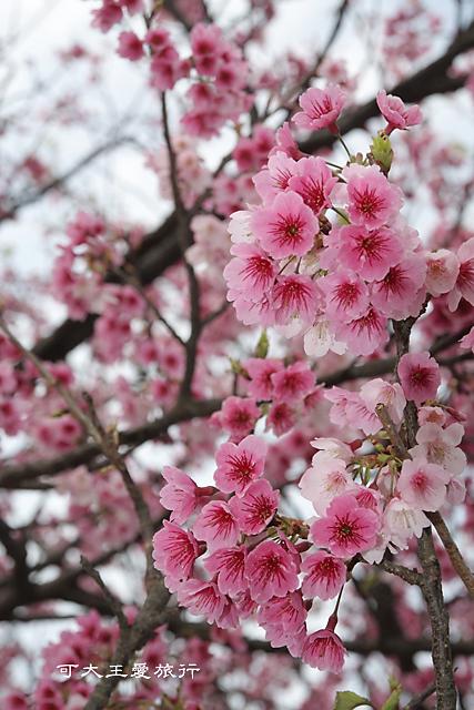 Formosa Cherry_61