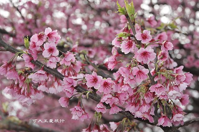 Formosa Cherry_62
