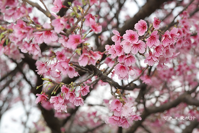Formosa Cherry_64