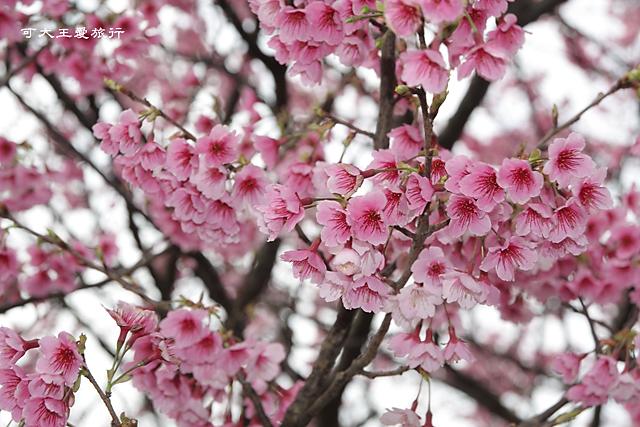 Formosa Cherry_65
