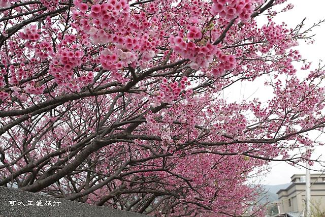 Formosa Cherry_70