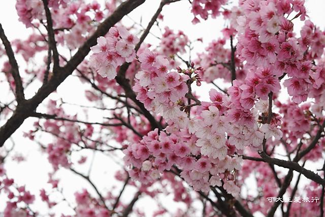 Formosa Cherry_72