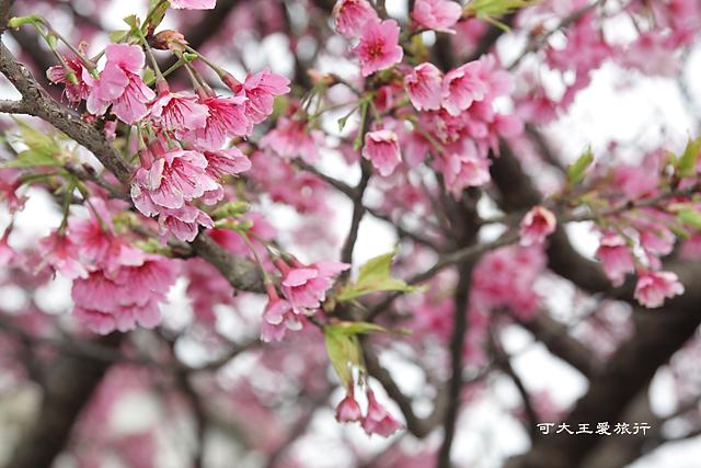 Formosa Cherry_76