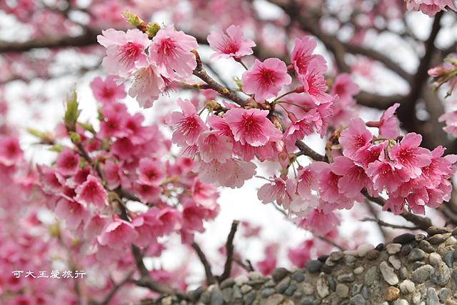 Formosa Cherry_81