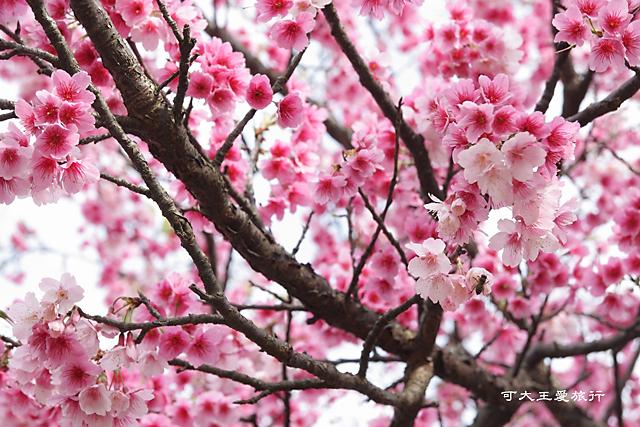 Formosa Cherry_80