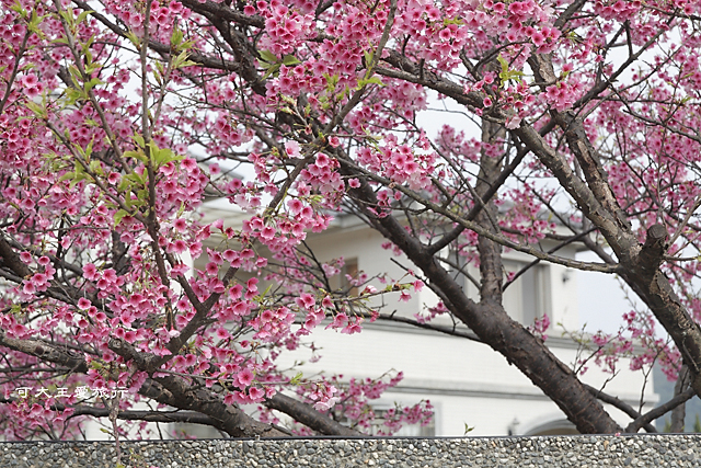 Formosa Cherry_82