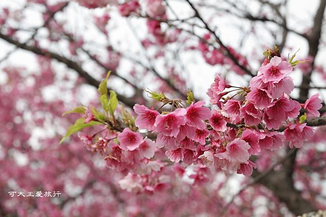 Formosa Cherry_83