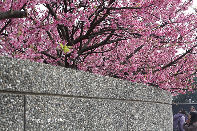 Formosa Cherry_90
