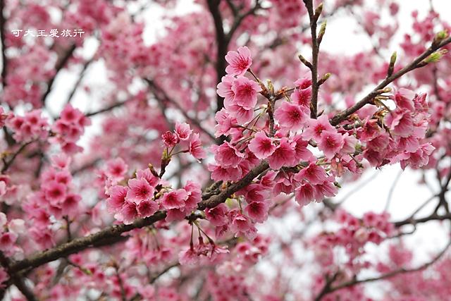 Formosa Cherry_92