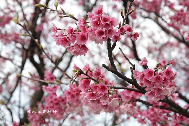 Formosa Cherry_95