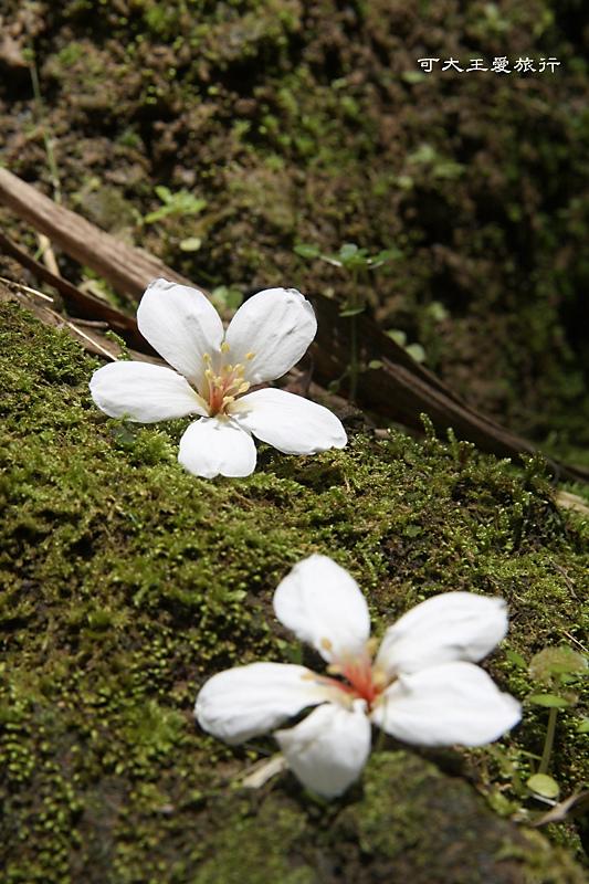 tung blossom_4.jpg